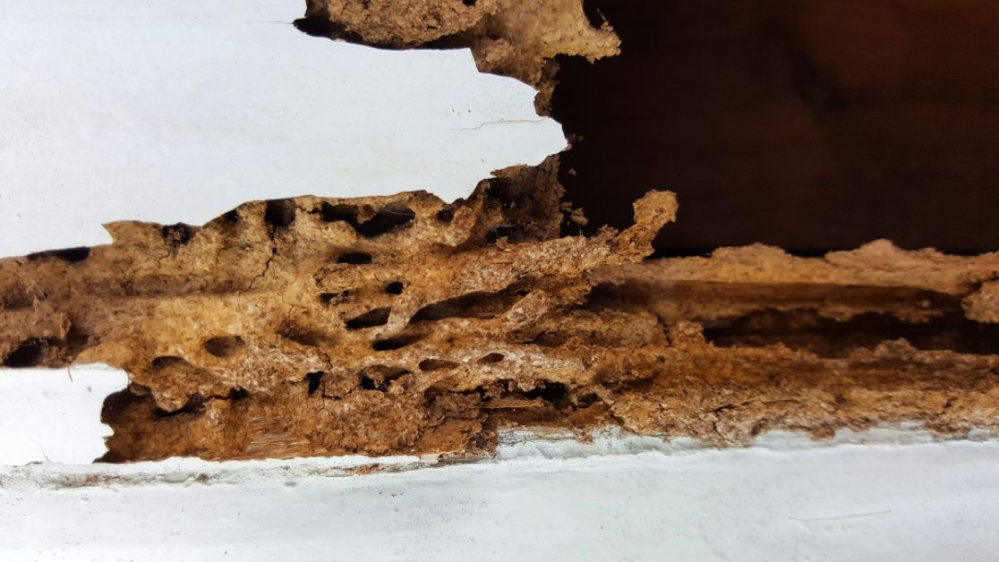 Termite Damage in Wall