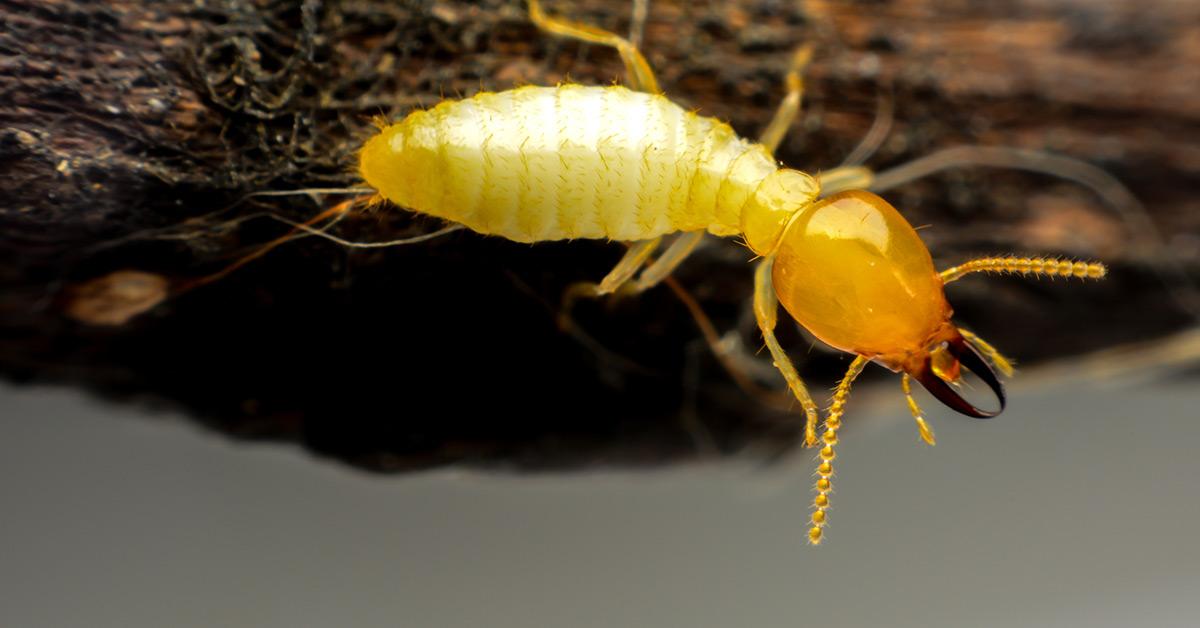 Closeup of Single Termite