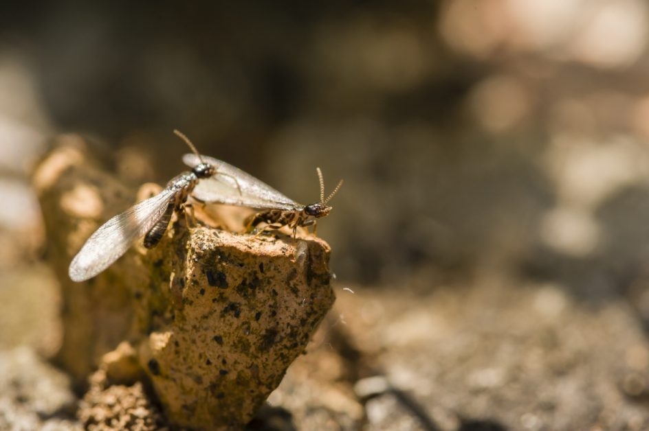 Winged Termites Preparing to Colonize