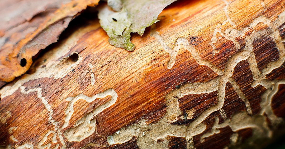 Termite Tunneling on Wood