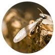 Termite With Wings Icon