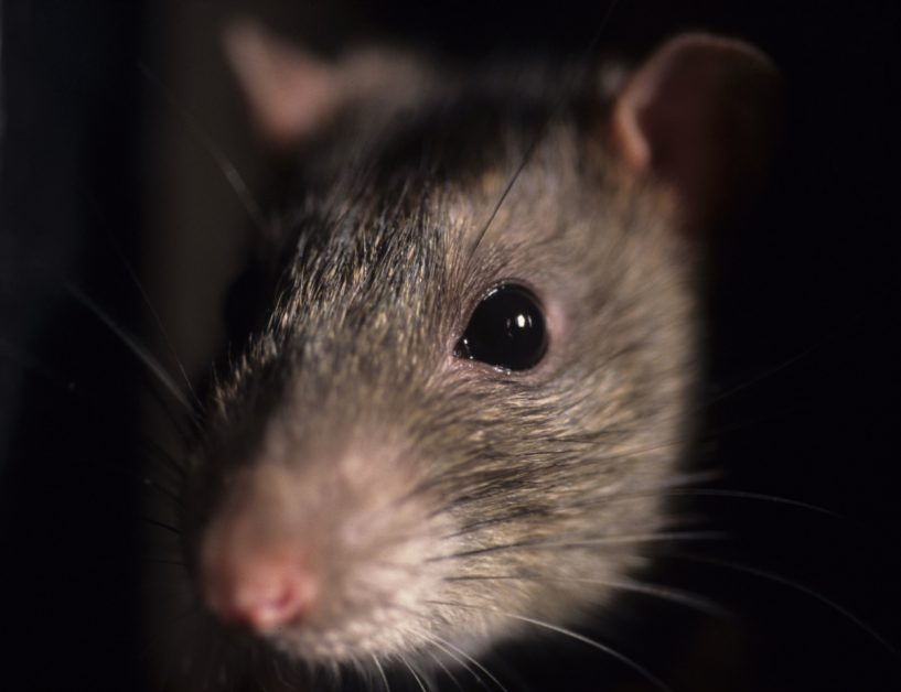 Mouse Face Closeup