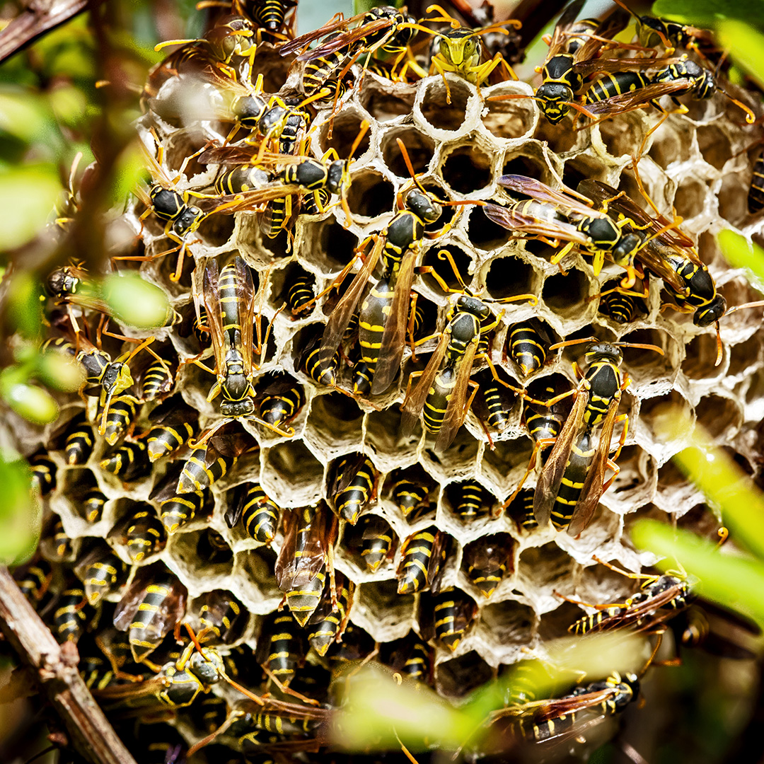 Large colony of wasps in a hive.