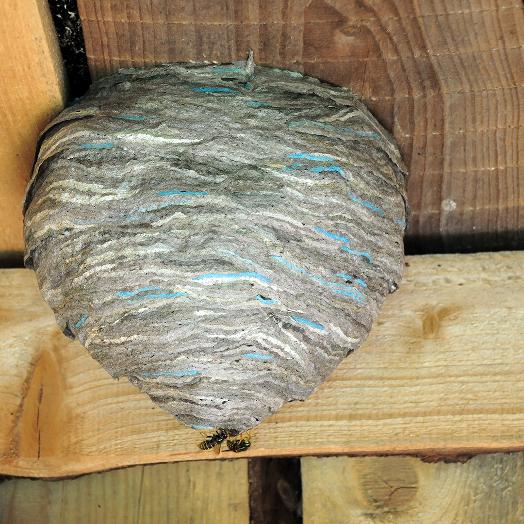 Wasp nest built in the ceiling of an old barn.