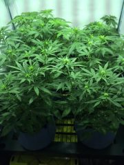 A month of growth in a cannabis grow tent from our in-home cannabis cultivation service client