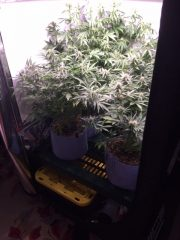 A grow tent from our in-home cannabis cultivation service after 6 weeks of growth