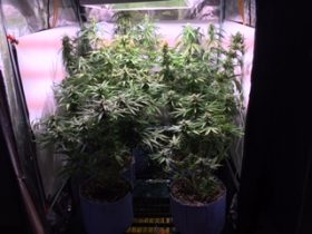 Nearly fully grown cannabis plants in a grow tent from our cultivation service in Massachusetts