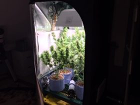 Nine weeks of growth in a grow tent from our in-home cannabis service in Massachusetts