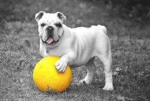 bulldog-300x201