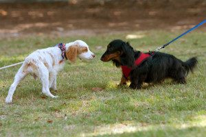 two-dogs-sniffing-each-other-300x200