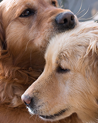 two-golden-retrievers