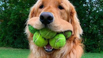 a dog with multiple tennis balls in its mouth