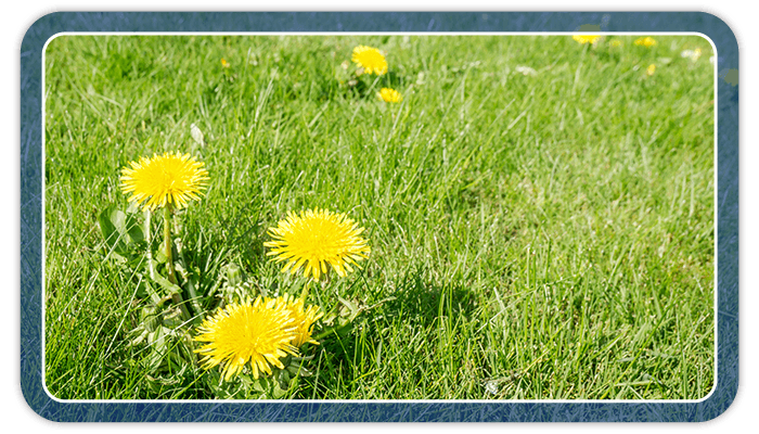 Image of dandelion weeds in a grass lawn
