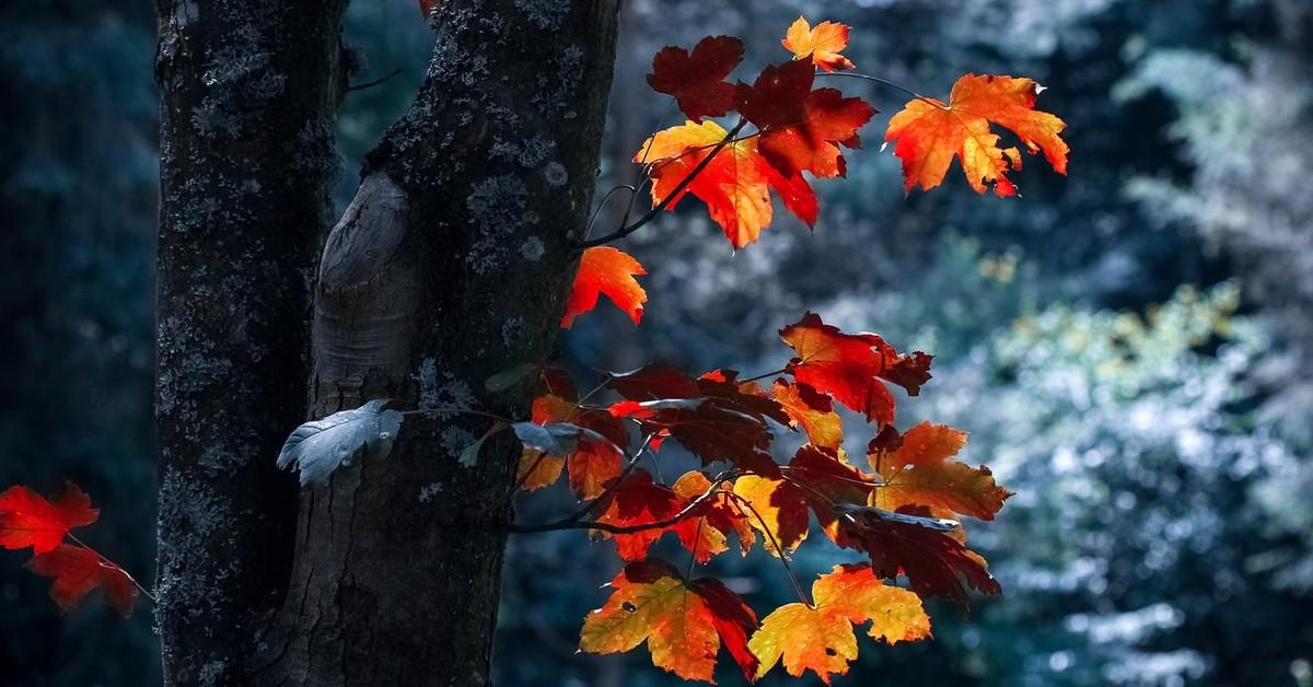 Norway Maple Tree J&S Tree Service chicago