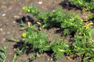 lawn maintenance for pineapple weed