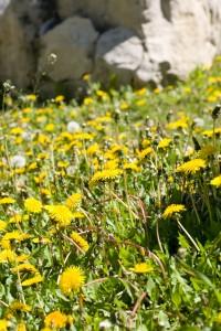 lawn maintenance for dandelion