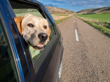 Image of a yellow lab poking out of a car window