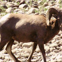 a ram in Idaho