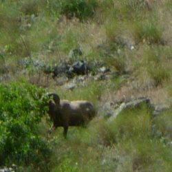 a ram hiding behind a bush in Hells canyon