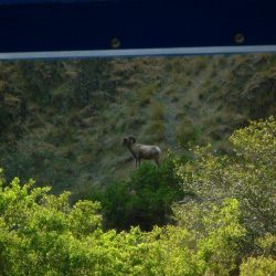 a ram in the canyon as seen from the boat