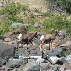 two rams climbing over rocks