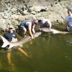 four men holding two sturgeons
