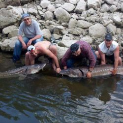 six men and two large sturgeons