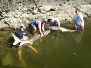 two sturgeons being held by four men in Hells Canyon