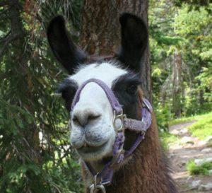 Elvis-the-llama