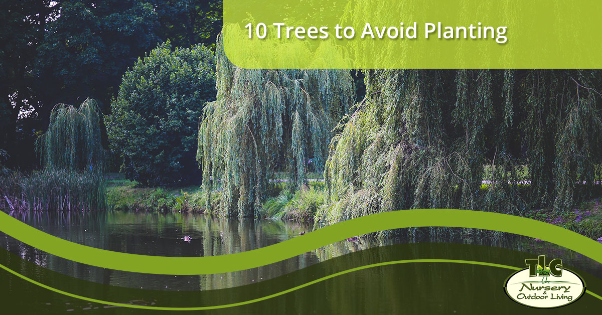 10 Trees To Avoid Planting | TLC Nursery & Outdoor Living