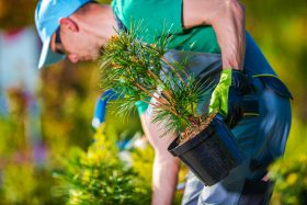 Landscaper Planting a New Tree