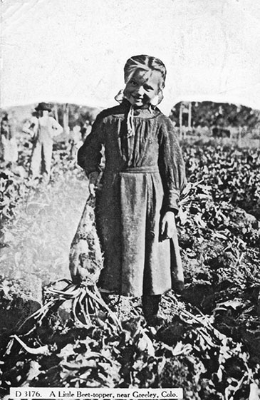 Historic photo of young girl picking sugar beets.