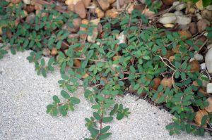 Spurge weeds