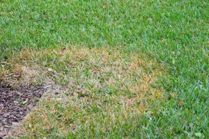 Diseased Lawn