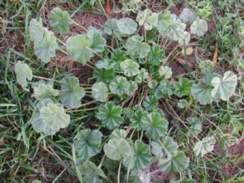 Mallow weeds