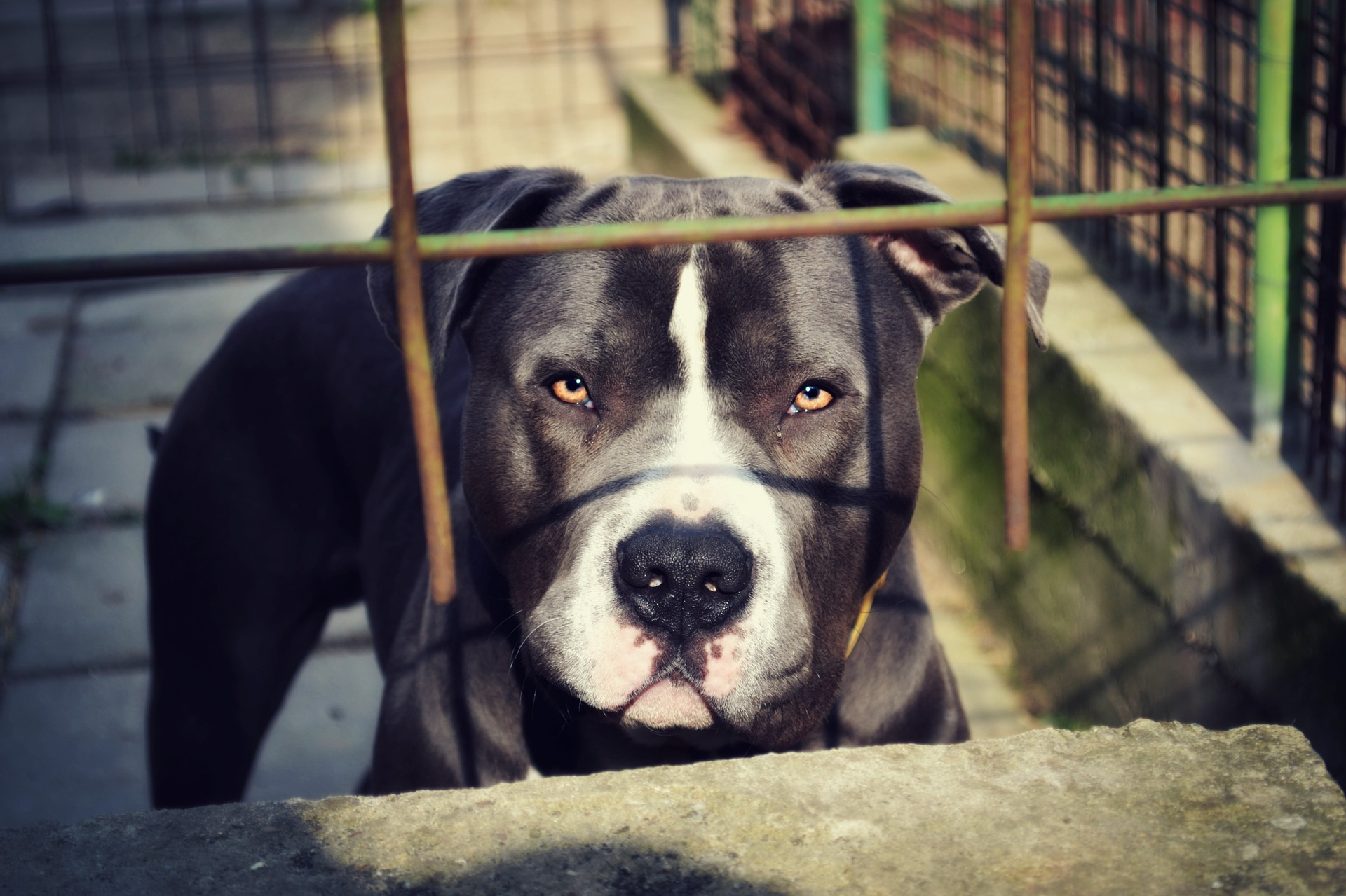 fenced pit bull