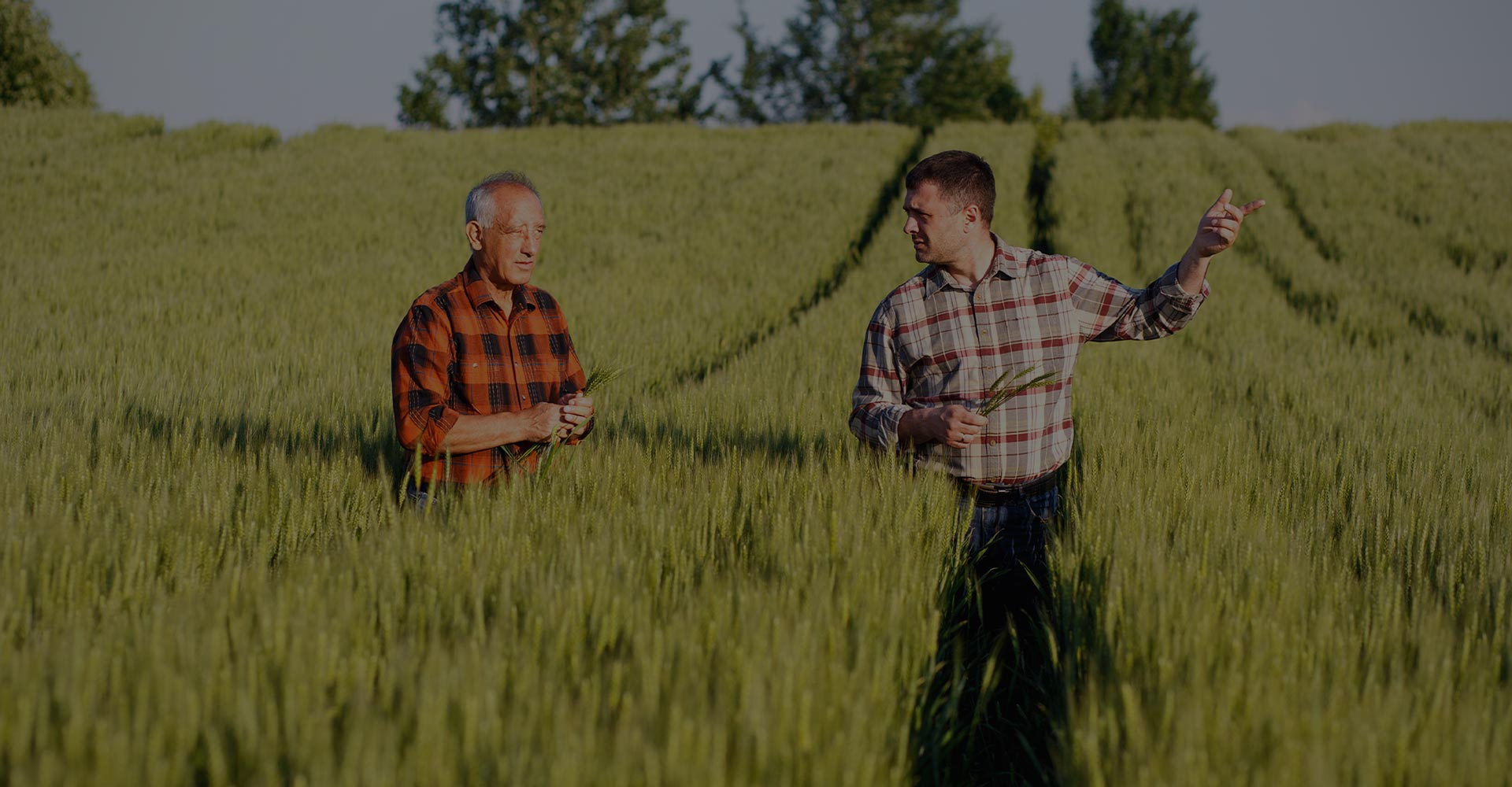 Two farmers in a field examining wheat crop in their hands