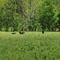 Bears in Gatlinburg