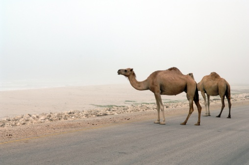 A camel and the open road, just not in Nevada!