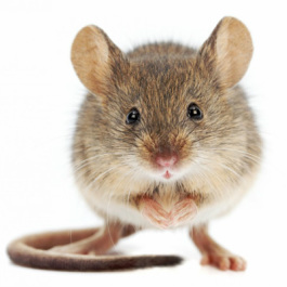 Rodent Services - Sacramento Critter Control   Earthwise
