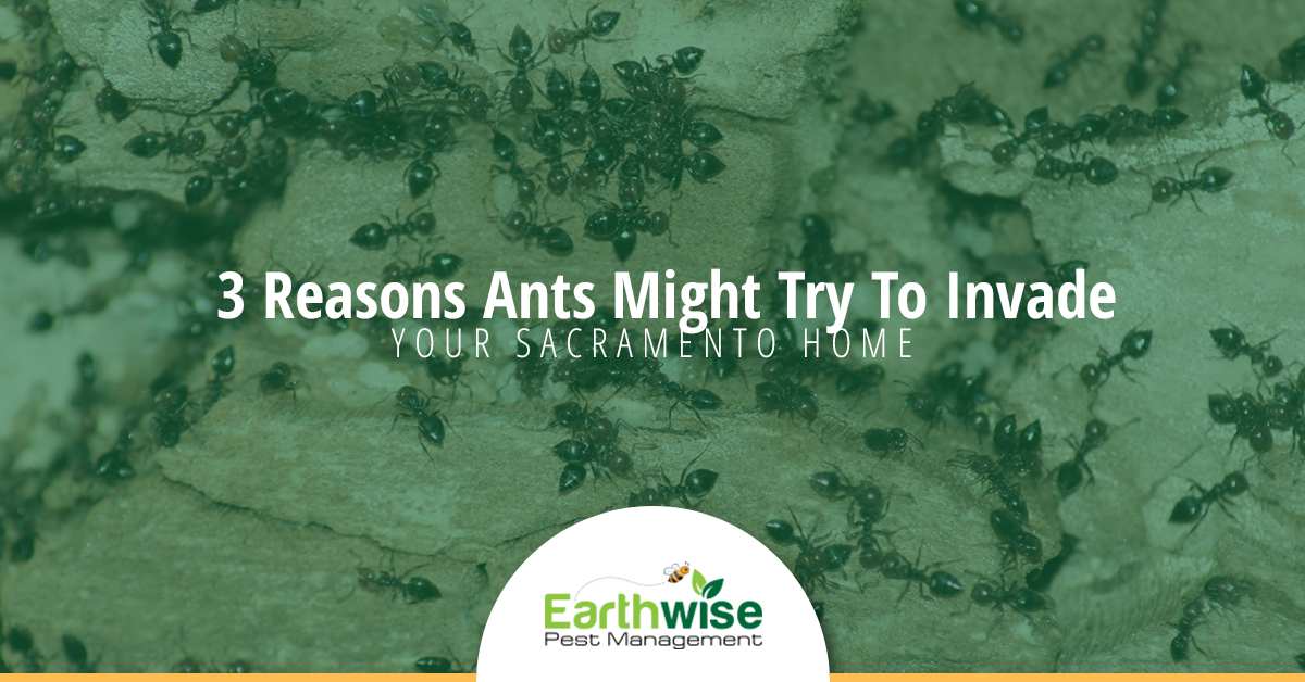 3 Reasons ants might try to invade your Sacramento home