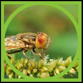 Fruit Fly Pest Management - Integrated Pest Control