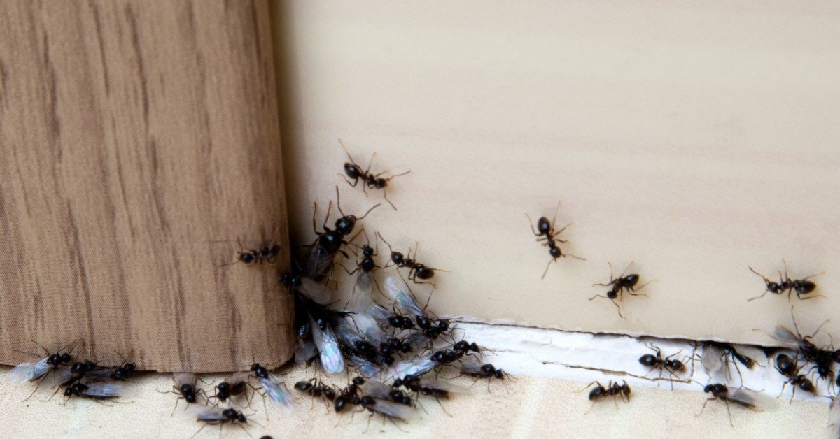 Ant Control for your commercial business in sacramento