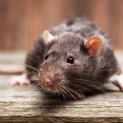 Rat Exterminator Boynton Beach