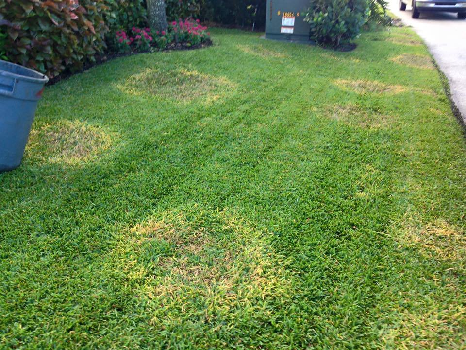 Lawn Fungus West Palm Beach