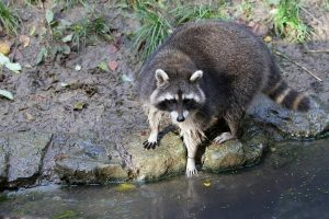 South Florida Raccoon