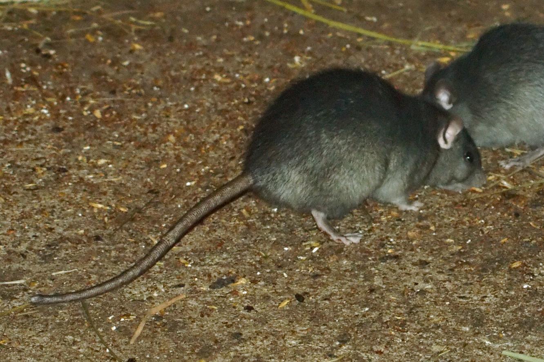 Roof Rats Wellington