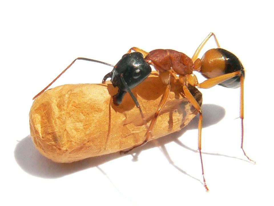 Sugar Ants Jupiter FL