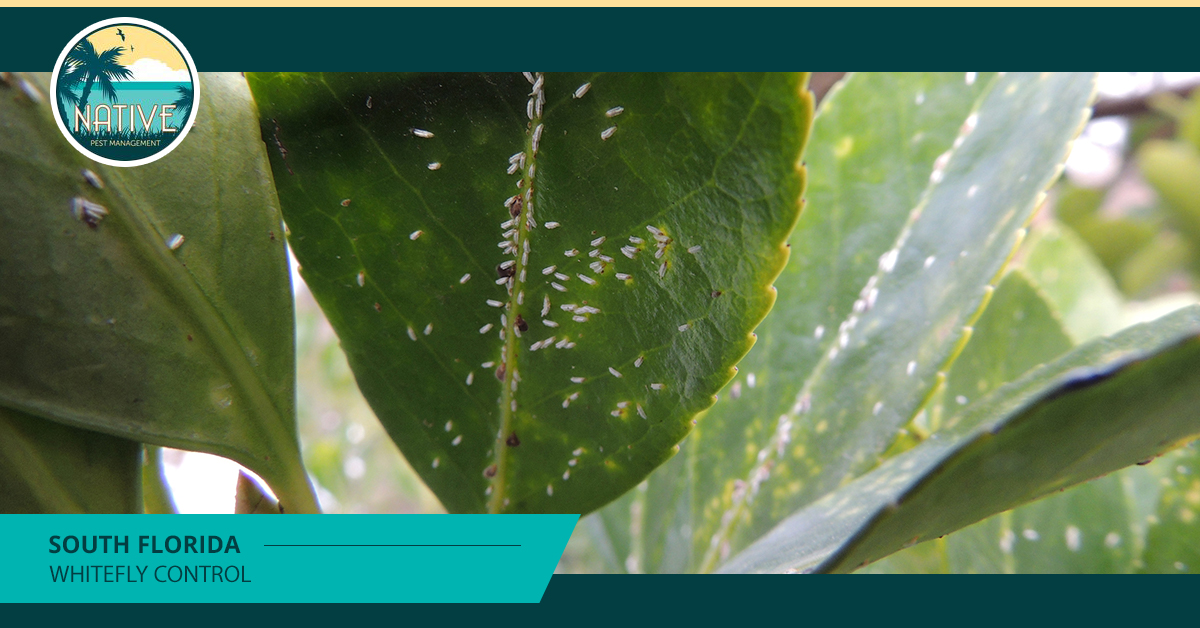 South Florida Whitefly Control