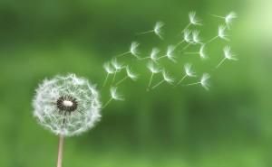dandelion in wind